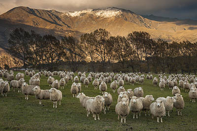 New Zealand Photograph - Sheep Flock At Dawn Arrowtown Otago New by Colin Monteath, Hedgehog House