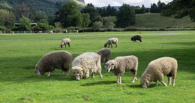 Sheep Grazing In A Field, Agrodome Art Print