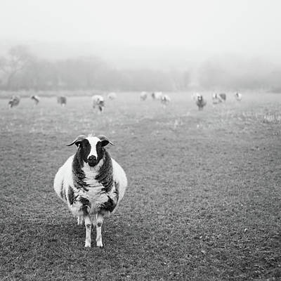 Photograph - Sheep In A Field by Suzanne Marshall
