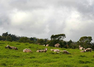 Photograph - Sheep In A Meadow by John Orsbun
