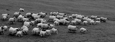 Photograph - Sheep In Kerry by Barbara Walsh