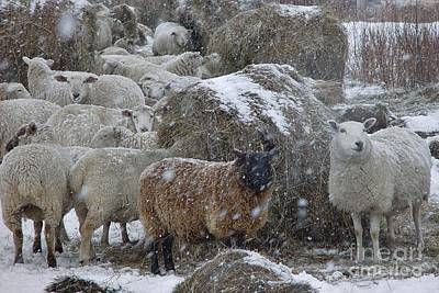Art Print featuring the photograph Sheep In Snow by Christopher Mace