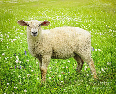 Animals Photos - Sheep in summer meadow by Elena Elisseeva
