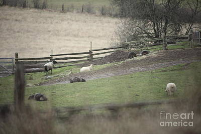 Sheep Life Print by Graham Foulkes