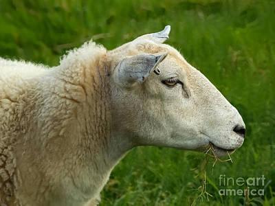 Photograph - Sheep by Lutz Baar