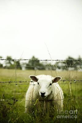 Grassy Field Photograph - Sheep by Margie Hurwich