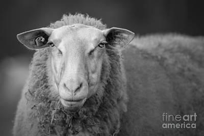Photograph - Sheep by Maurizio Bacciarini