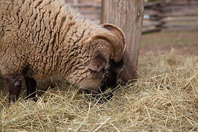 Wool Photograph - Sheep - Mt Vernon - 01135 by DC Photographer