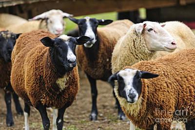 Run Photograph - Sheep On A Farm by Elena Elisseeva