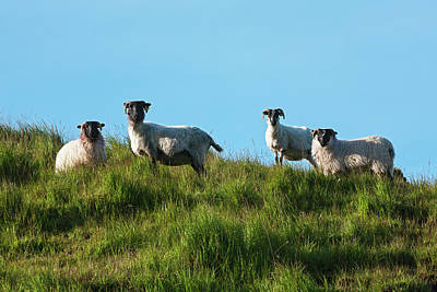 Sheep On Dingle Peninsula  County Art Print