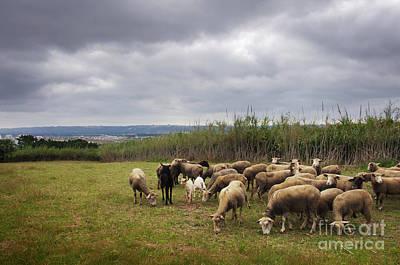 Photograph - Sheep Pasturing by Carlos Caetano