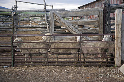 Photograph - Sheep Ranch by Jim West