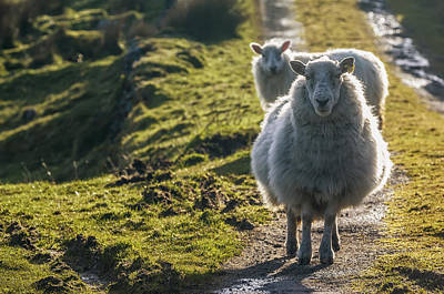 Day-time Photograph - Sheep Walking On Path Ballinskelligs by James Sparshatt