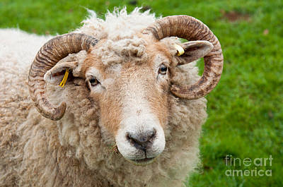 Urban Abstracts Royalty Free Images - Sheep with horns Royalty-Free Image by Luis Alvarenga