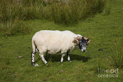 Photograph - Sheepish by Diane Macdonald