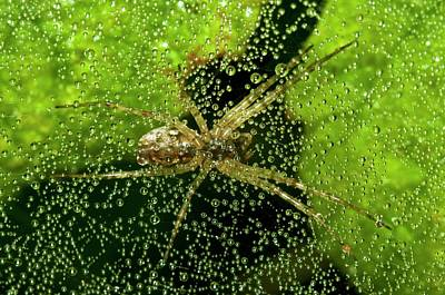 Spiderweb Photograph - Sheetweb Spider On Dew-covered Web by Dr. John Brackenbury/science Photo Library