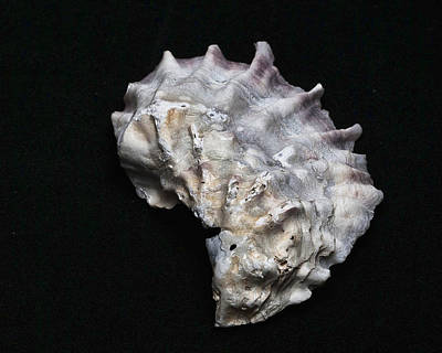 Photograph - Shell 2 by Ron Roberts