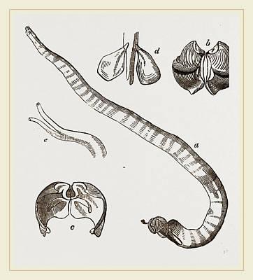Shell And Tube Of Teredo Navalis Art Print