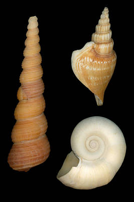 Scanography Photograph - Shell - Conchology - Shells by Mike Savad