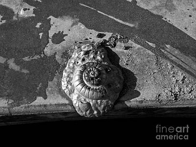 Photograph - Shell No. 4 B W by Fei Alexander