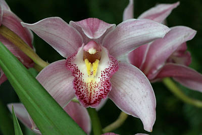 Photograph - Shell Pink Orchid by Allen Beatty