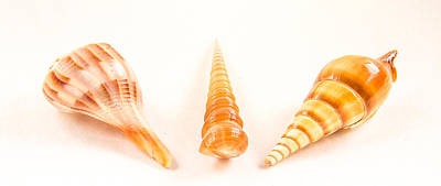 Shell Trio Art Print by Jean Noren