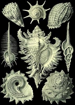 Haeckel Digital Art - Shellfish Mussels Murex Pecten Prosobranchia Haeckel by Movie Poster Prints