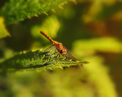 Dragonfly Photograph - Sheltered by Susan Capuano