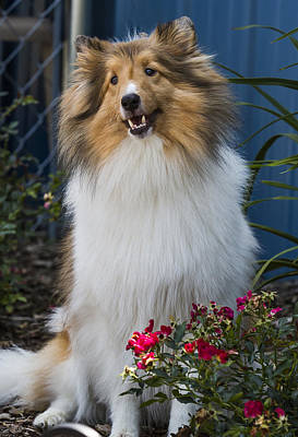 Photograph - Sheltie by Bill Linhares