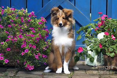 Sheltie - D001280 Art Print by Daniel Dempster