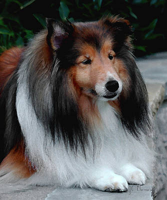 Photograph - Sheltie by James C Thomas