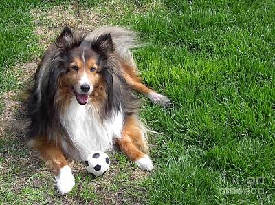 Photograph - Sheltie by Mary-Lee Sanders