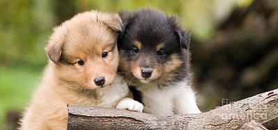 Sheltie Mixed Media - Sheltie Puppies by Marvin Blaine