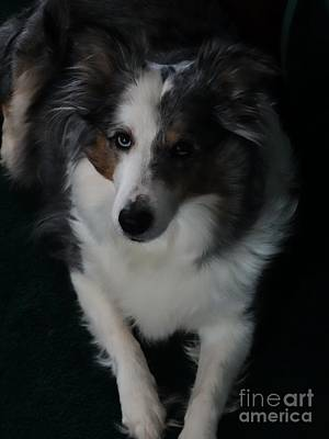 Photograph - Shelties Beauty by Scott B Bennett
