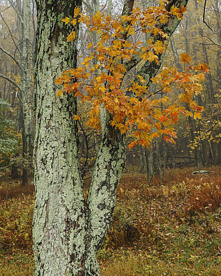 Photograph - Shenandoah Tree by Lee Kirchhevel