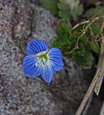 Photograph - Shenandoah Valley Wildflower by Lara Ellis
