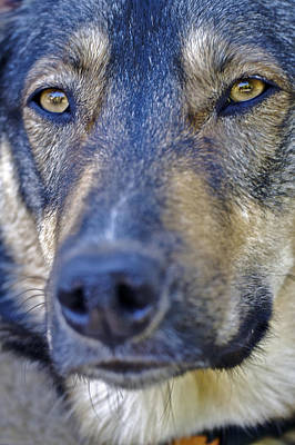 Photograph - Shepherd Husky And . . . by SC Heffner