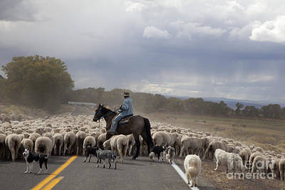 Photograph - Shepherd Moves Flock On Highway by Jim West