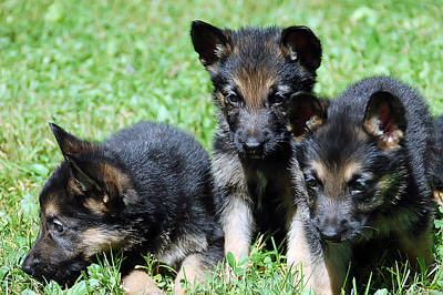 Photograph - Shepherd Pups 12 by Aimee L Maher Photography and Art Visit ALMGallerydotcom