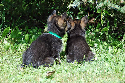Photograph - Shepherd Pups 15 by Aimee L Maher Photography and Art Visit ALMGallerydotcom