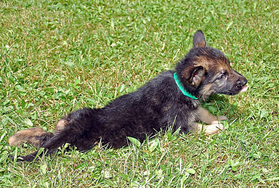 Photograph - Shepherd Pups 19 by Aimee L Maher Photography and Art Visit ALMGallerydotcom