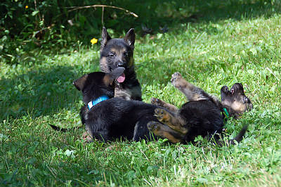 Photograph - Shepherd Pups 21 by Aimee L Maher Photography and Art Visit ALMGallerydotcom
