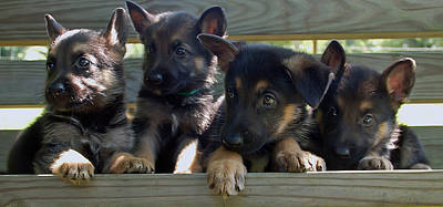 Photograph - Shepherd Pups 4 by Aimee L Maher Photography and Art Visit ALMGallerydotcom