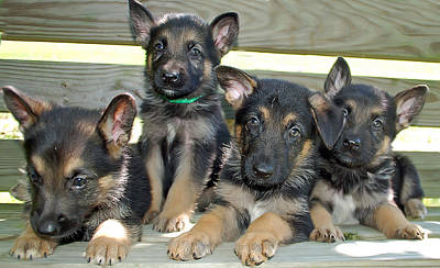 Photograph - Shepherd Pups 6 by Aimee L Maher Photography and Art Visit ALMGallerydotcom