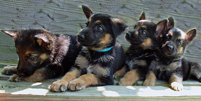 Photograph - Shepherd Pups 8 by Aimee L Maher Photography and Art Visit ALMGallerydotcom