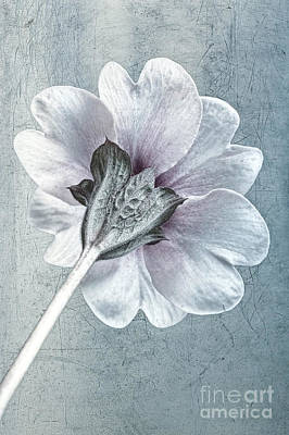 Sheradised Primula Art Print by John Edwards