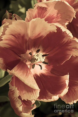 Photograph - Sherwood Tulips 2 by Chris Scroggins