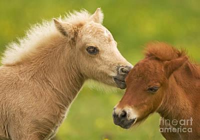 Photograph - Shetland Ponies by Jean-Michel Labat