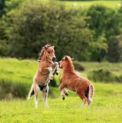 Photograph - Shetland Pony's by Grant Glendinning