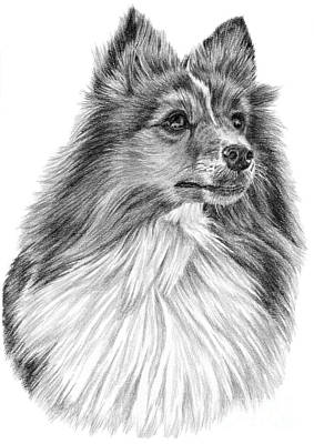Drawing - Shetland Sheepdog by Pencil Paws